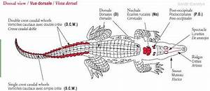 Image Result For Labelled Diagram Of Crocodile