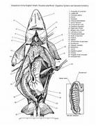 shark anatomy by damax...Shark Anatomy