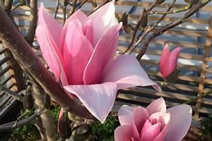 Fleur De Magnolia : fleur de magnolia jardins du japon et d 39 ailleurs ~ Melissatoandfro.com Idées de Décoration