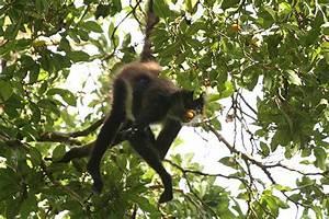 spider monkey eating fruit | Flickr - Photo Sharing!