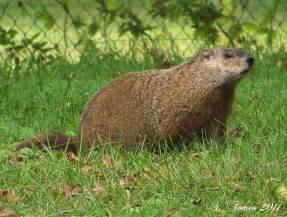 Wood Chuck Groundhog