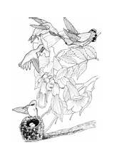 Coloring Hummingbird Throated Ruby Hummingbirds Supercoloring Printable sketch template