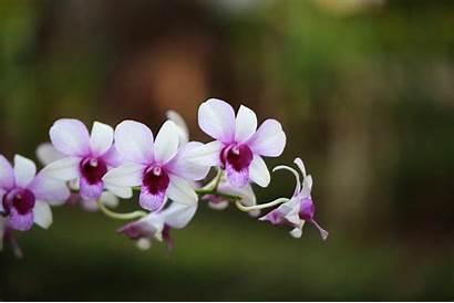 Orchid Flowers Wallpapers Flower Wallpaperxyz 3d Nature