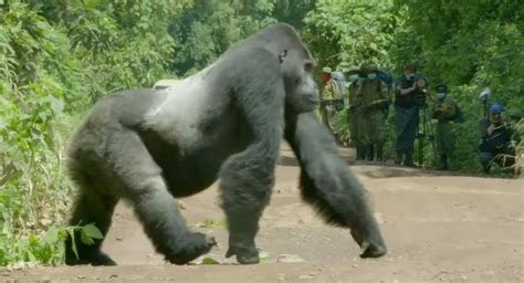 Huge gorilla suddenly steps out into the road - causes ...
