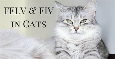 fivfelv cats connecticut cat connection