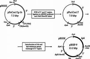 Construction Of Knockout Plasmid Pbhp