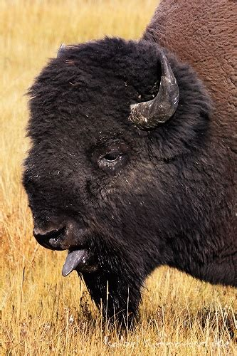 Nature Photography :: Gallery :: Yellowstone N.P. :: Bison ...