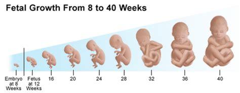 fetal development timeline timetoast timelines