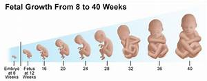 Fetal Development Timeline