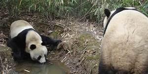 Giant Pandas Smithsonian39s National Zoo
