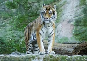 Tigre Siberiana  Tigre Dell U0026 39 Amur  Siberian Tiger  Panthera U2026