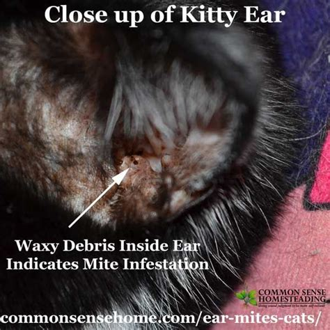 ear mites  cats easy treatment  common questions