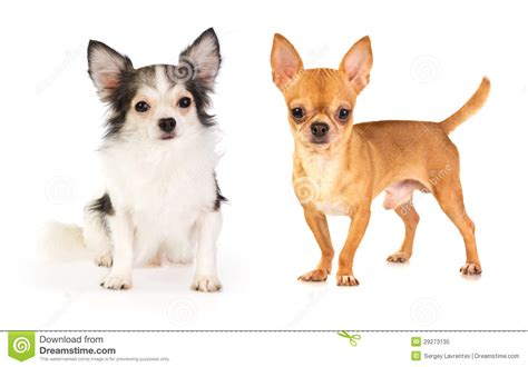 long haired  short haired chihuahua royalty  stock