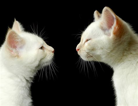 How Do Cats Communicate With Each Other? Greengatocom