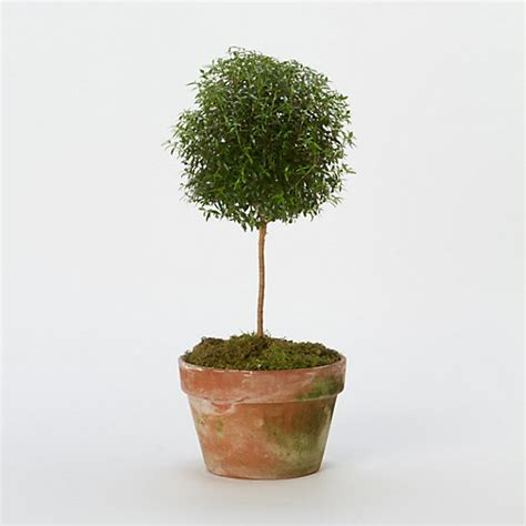 Myrtle Topiary, Large In House + Home Branches + Flowers