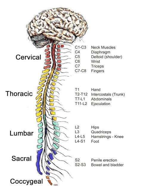 The central nervous system (CNS) controls most functions
