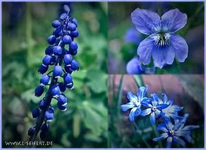 Was Sind Frühlingsblumen : blaue bl ten traubenhyazinthen der blaustern und hundsfeilchen sind blaue fr hlingsblumen ~ Whattoseeinmadrid.com Haus und Dekorationen