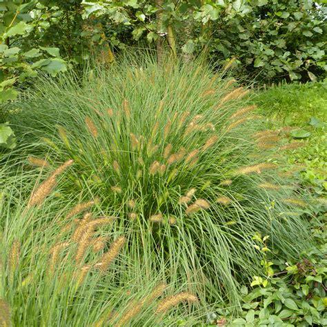 Garten Kaufen Hameln by Lenputzergras Hameln Xl Kaufen Bei G 228 Rtner P 246 Tschke
