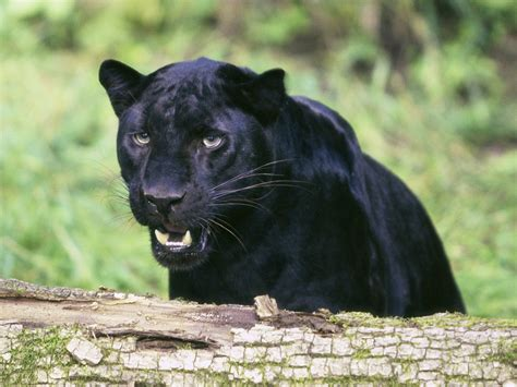 animals feline nature panthers pumas wallpapers hd