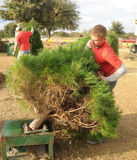 farms offer option in hunt for christmas trees san