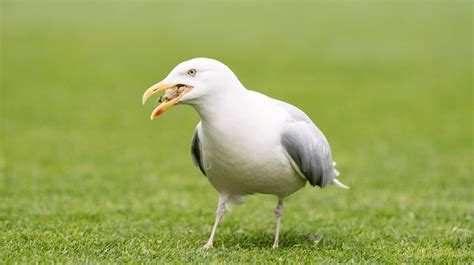 man injured after seagull attack in bristol west country