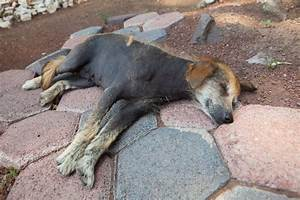 Black Skin Disease Alopecia X In Dogs Symptoms And Signs