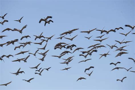 bird migration featured frontiersman com