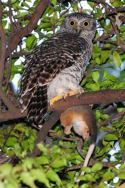 Owl Powerful Australia Largest Species Australian Native