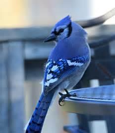 Beautiful Blue Jay Bird