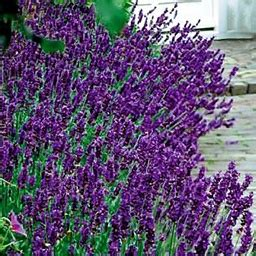 lavender soil ph 150 best herb lavender images on pinterest flowers garden lavender and growing lavender