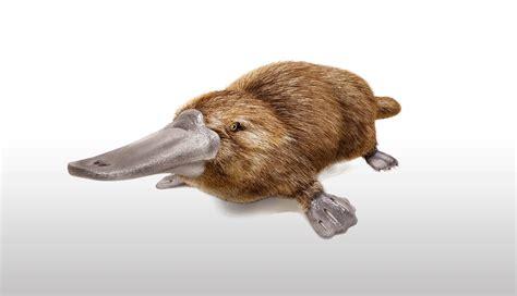 ornitorrinco el animal mas raro del mundo