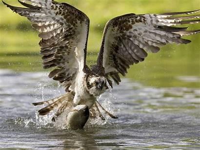 Hawk Wallpapers Animals Cool Animal Fish Bird