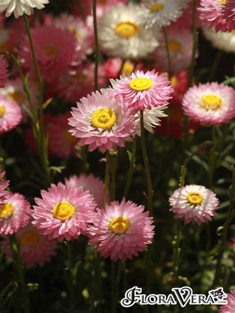 Rhodanthe Chlorocephala Floravera
