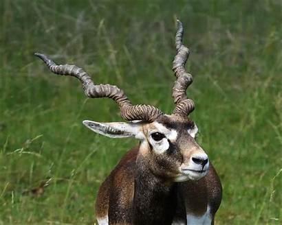 Antelope Animals Facts