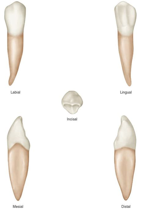 The Permanent Canines Maxillary And Mandibular (dental