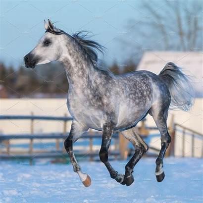 Arabian Stallion Horse Dapple Grey Galloping Horses
