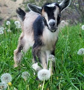 """Nigerian Dwarf Goat buckling """"Big W Henry"""" www ..."""