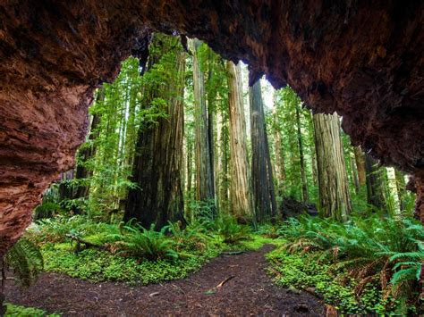 natural images hd p   redwood trees