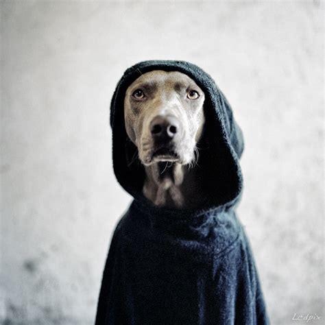 william wegman artistic dog photography  lobo