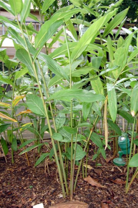cuisine hardy inside polynesian produce stand live spice plant alpinia galanga spicy