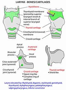 Diagram Of Throat Bones : instant anatomy head and neck areas organs larynx ~ A.2002-acura-tl-radio.info Haus und Dekorationen