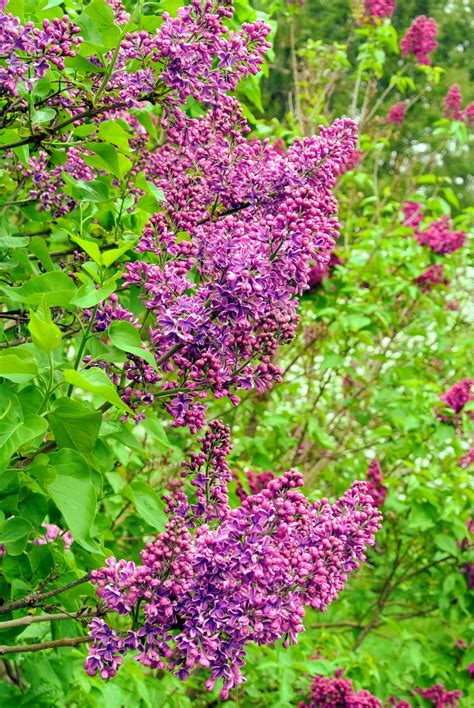 lilacs zones hardiness clump blooming thrive periods through most climates typically propagating producing shoots forming chilling trunk cooler base which
