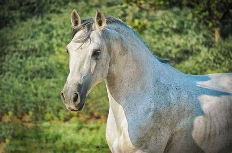 andalusian grey horse stallion horses stud stallions breed equine equinenow