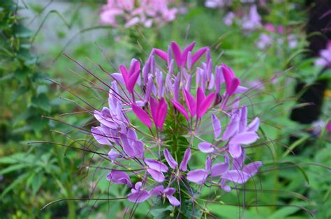 cleome flower zone five and a half vintage gardens spider plants and fancy pants