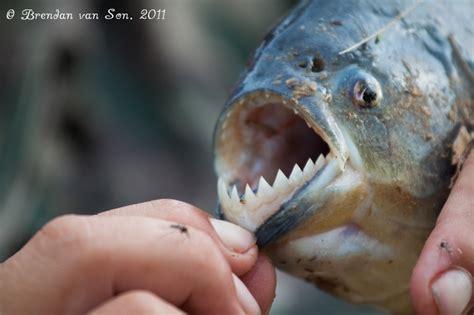 fingers piranha fishing   pantanal