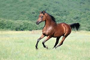 Brown Arabian Horse Running Gallop On Pasture Royalty Free ...