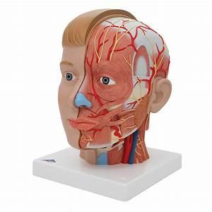 Anatomical Teaching Models - Plastic Anatomy Models