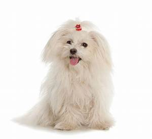 5 of the best small white dog breeds - Practical Paw | The ...