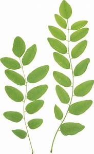 Vine clipart green leave - Pencil and in color vine ...