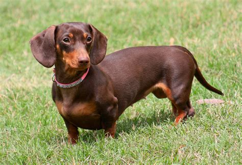The Gallery For --> Miniature Dachshund Chocolate